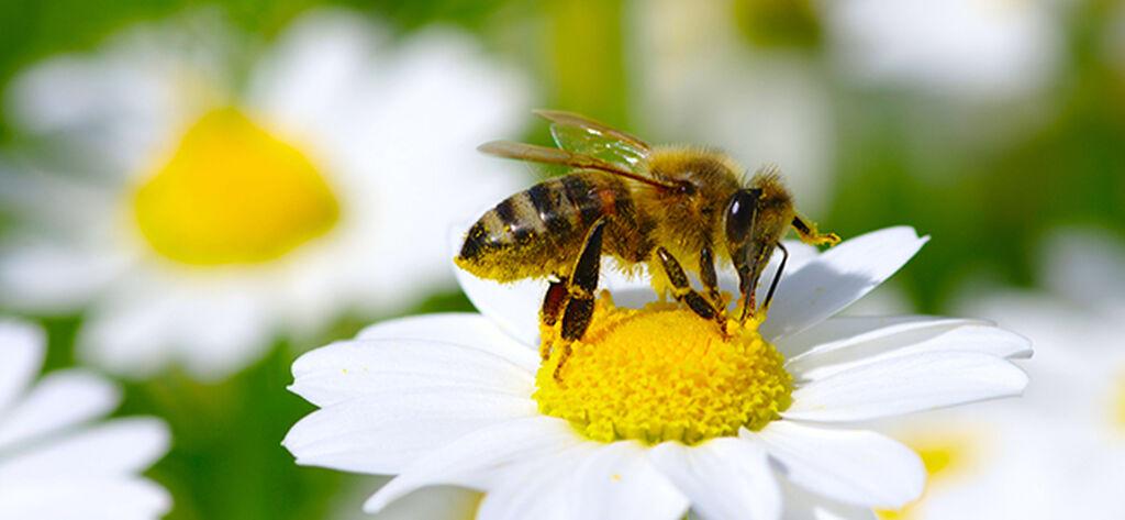 Planter som er bra for bier og pollinering