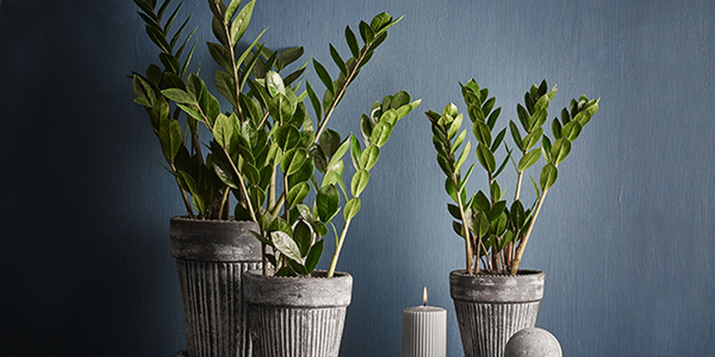 Smaragdpalme – slik lykkes du