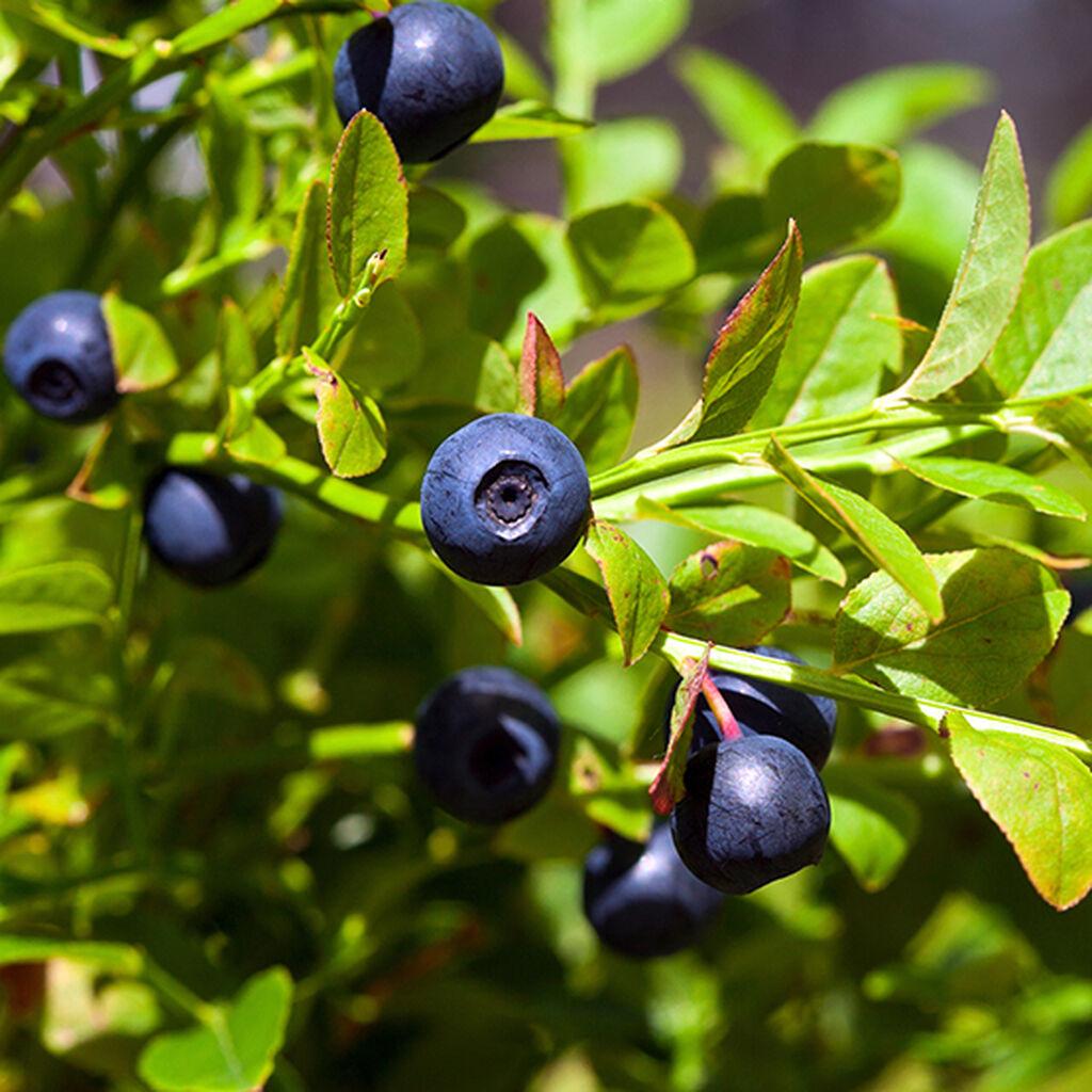 Blåbær – slik lykkes du
