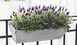 Lavendel- slik lykkes du