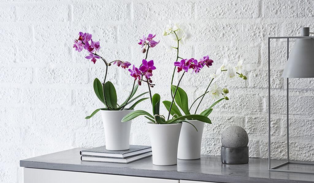 Orkidéer  - slik lykkes du