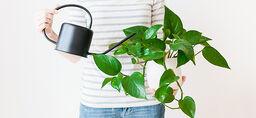 Vanning av dine inneplanter - slik lykkes du