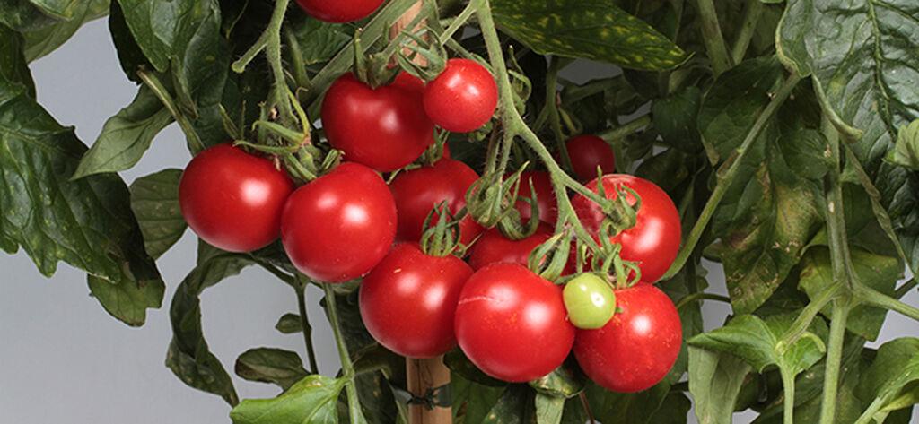 Cherrytomater