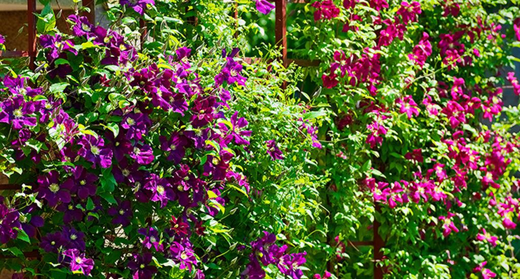Klatreplanter – slik lykkes du