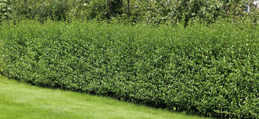 Plant hekk – slik lykkes du