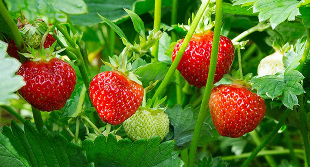 Jordbær- slik lykkes du