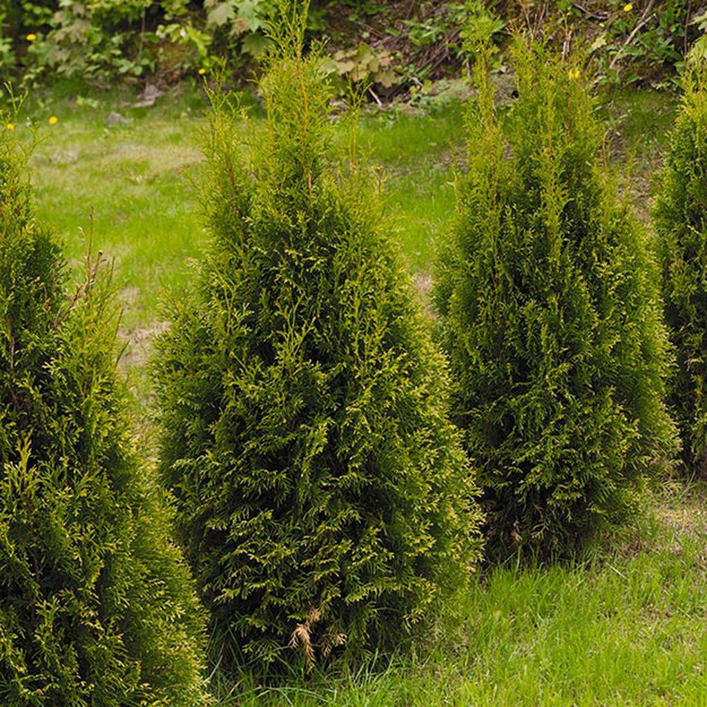 Thuja - slik lykkes du med med planting og beskjæring