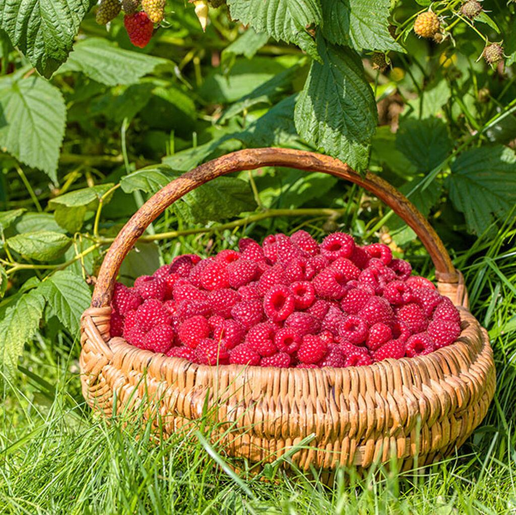 Bær – slik lykkes du
