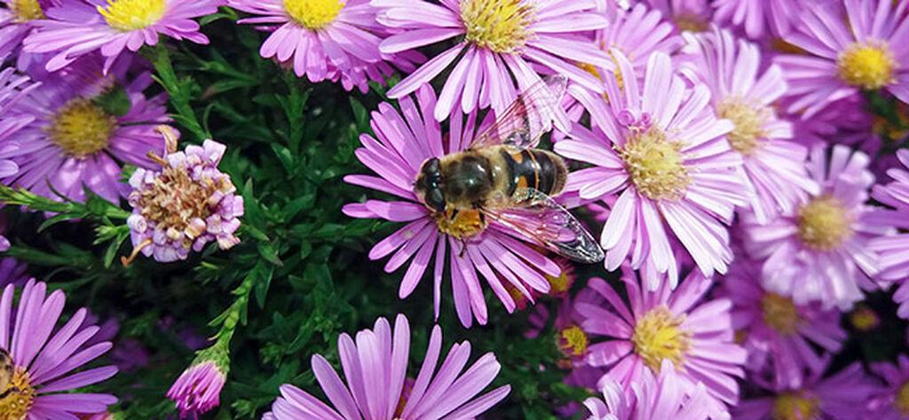 Inviter pollinatorer til høsthagen
