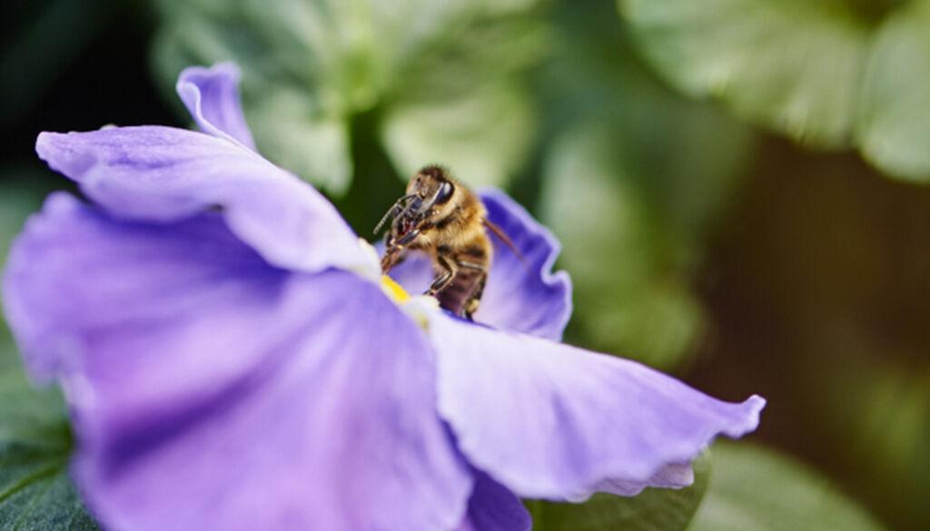 Lokk pollinatorer til plantingen din