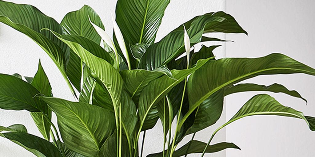 Slik fungerer luftrensende planter