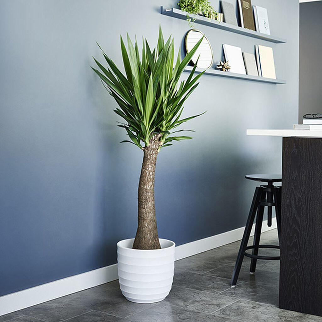 Yuccapalme – slik lykkes du