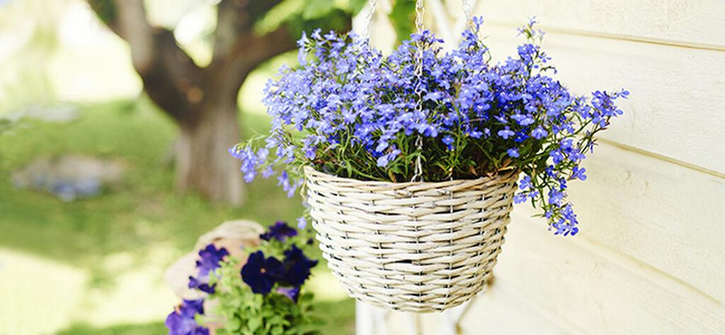Sommerblomster i ampler – slik lykkes du