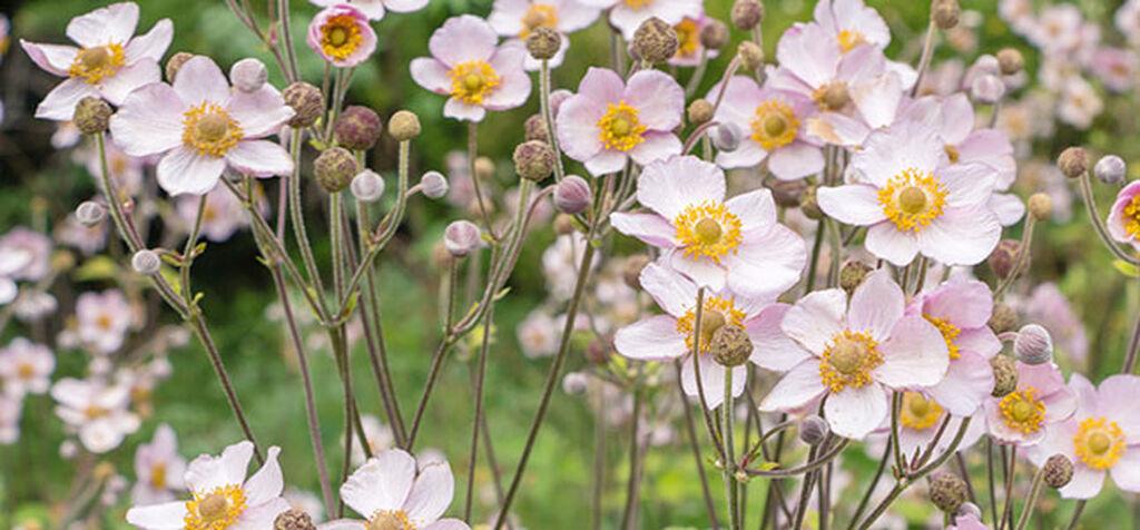 Anemone– slik lykkes du