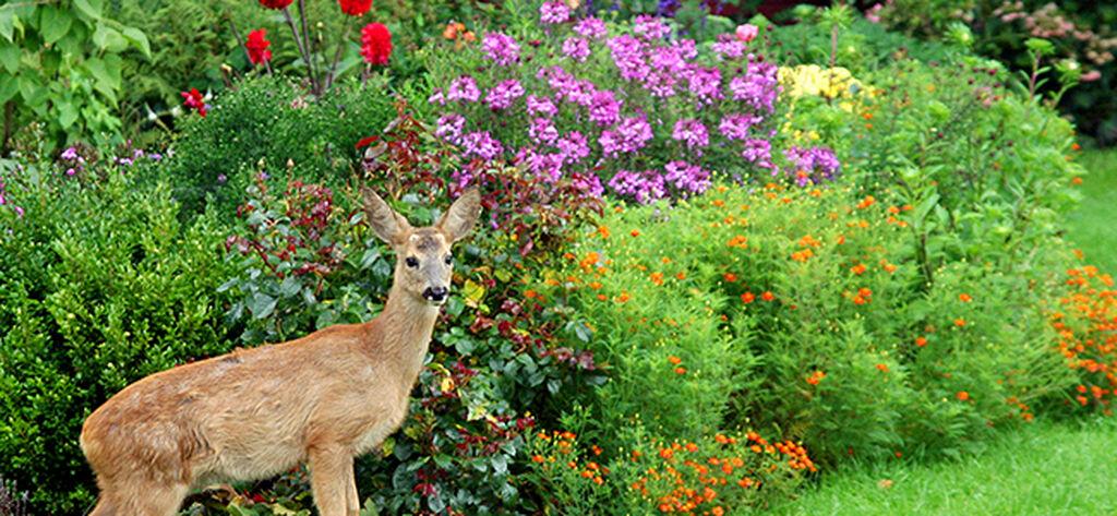 Slik skremmer du bort rådyr fra hagen
