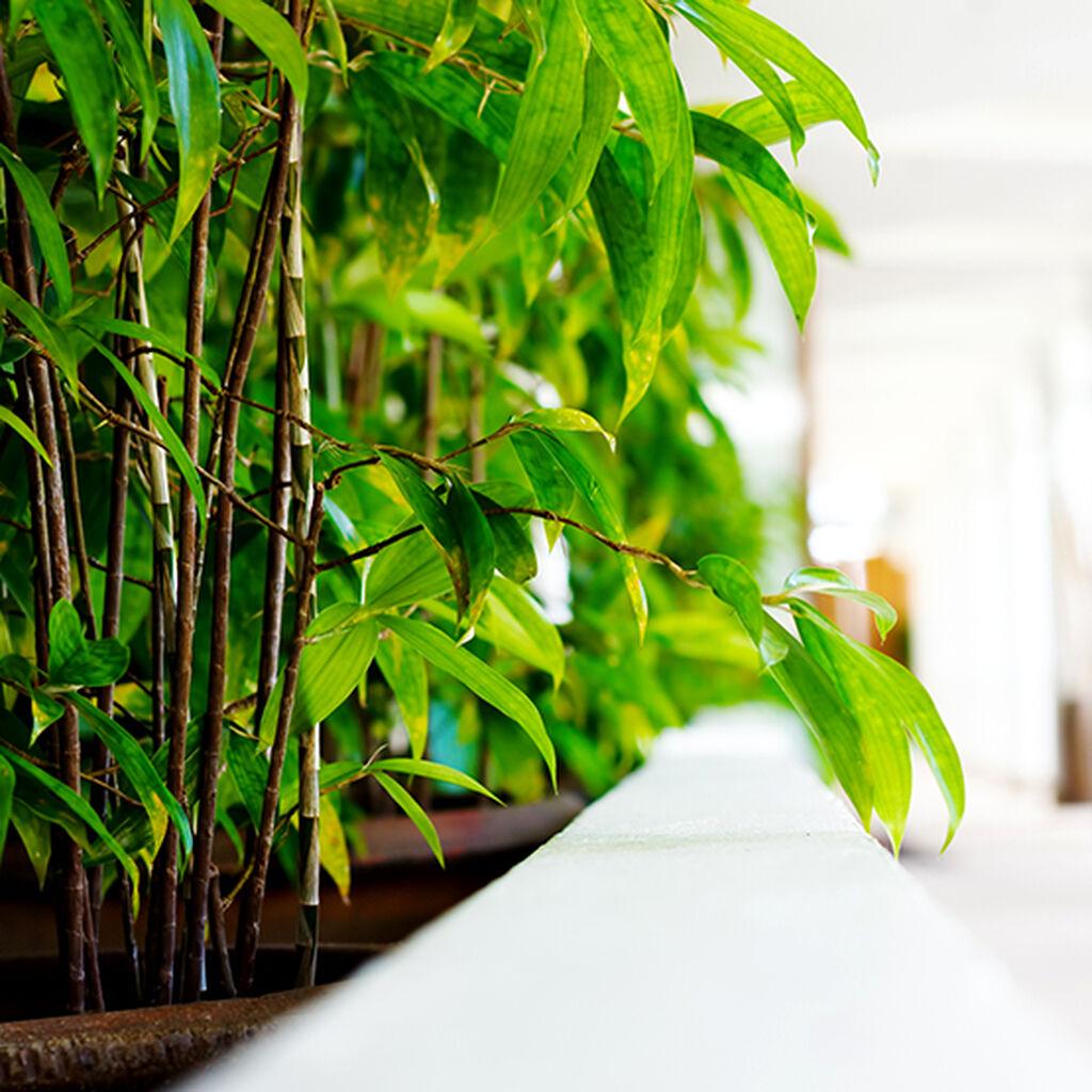 Bambus – slik lykkes du