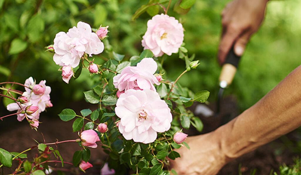 Plant roser i hagen