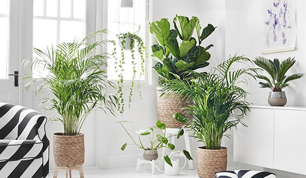 Luftrensende grønne inneplanter