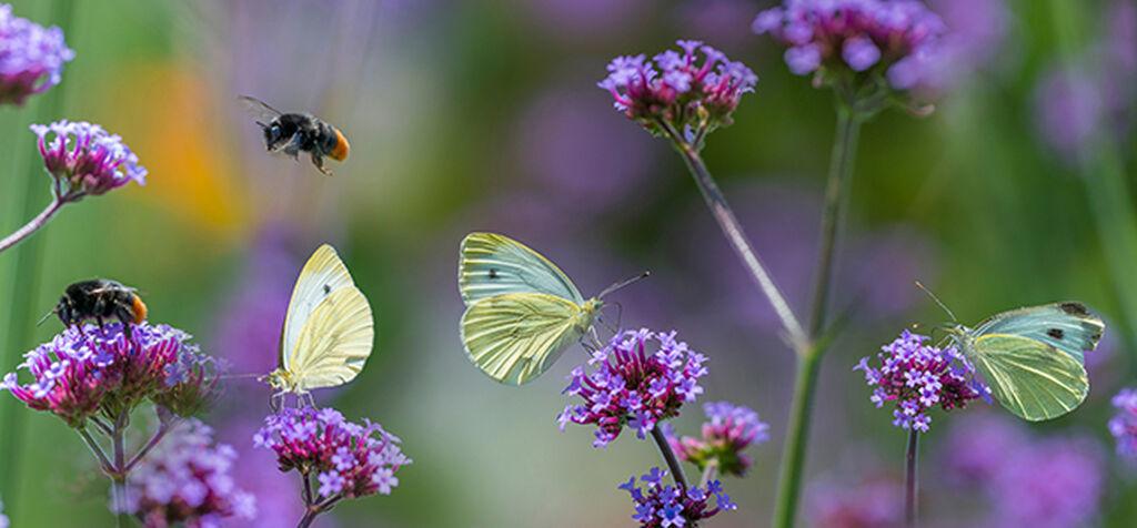 Våre vanligste pollinatorer