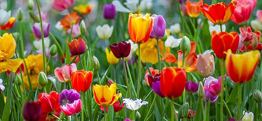 Plant blomsterløk i en løklasagne