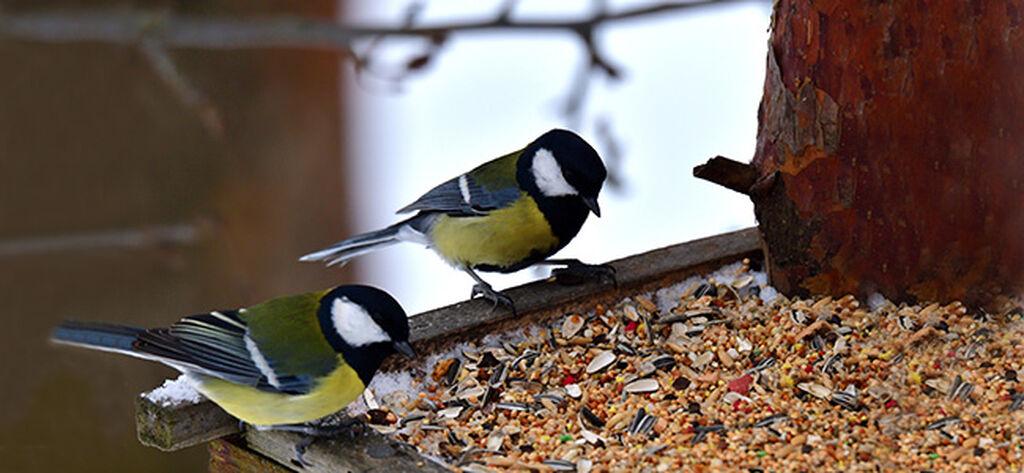 Fuglemating – slik lykkes du