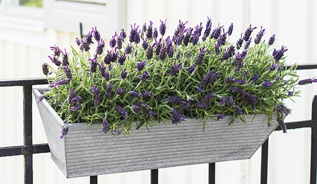 Lavendel – slik lykkes du