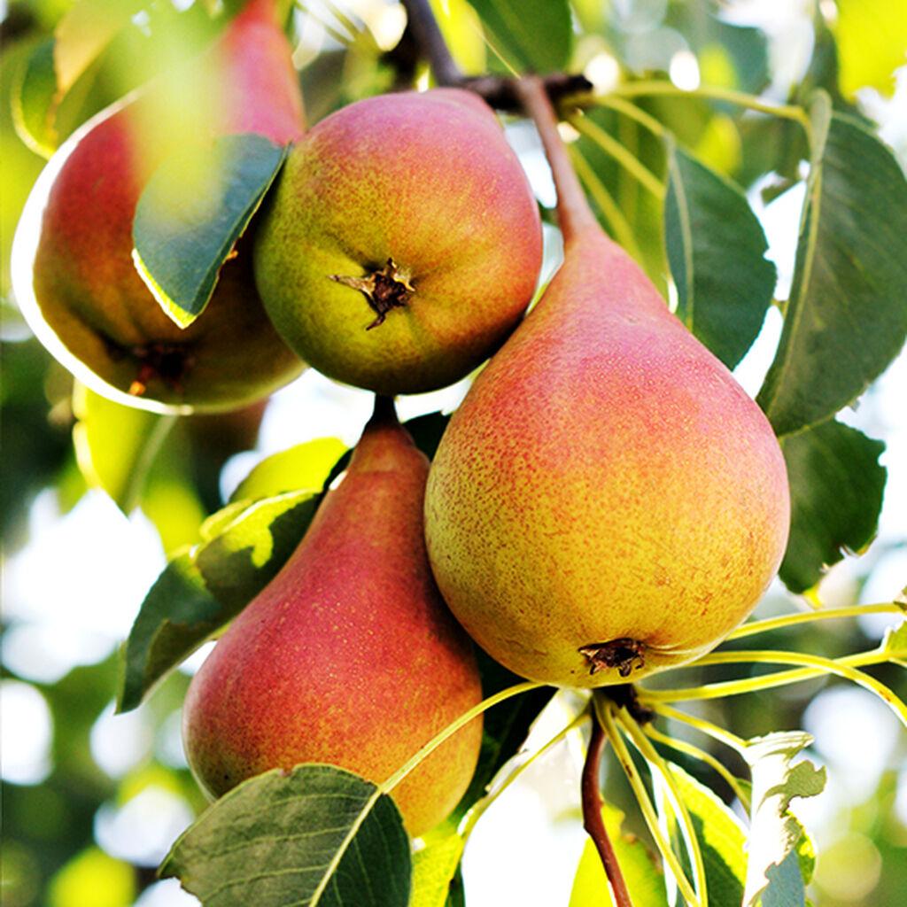 Frukttrær – slik lykkes du
