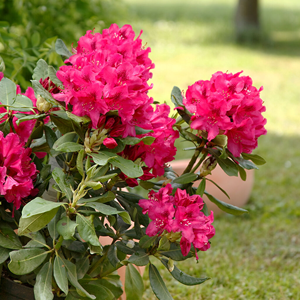 Rhododendron - slik lykkes du