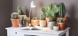 Kaktus – slik lykkes du