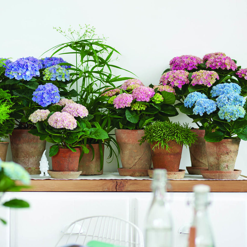 Stuehortensia Magical med 150 dagers blomstring