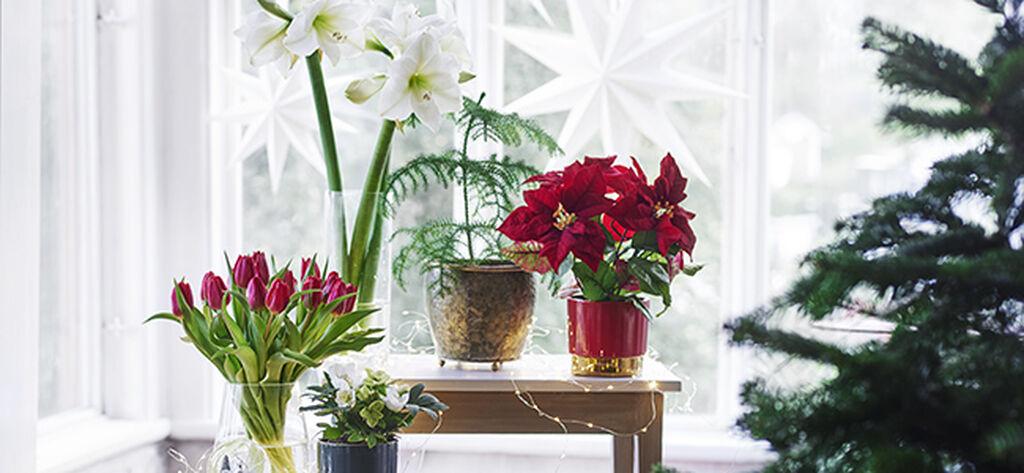 Juleblomster skaper julestemning