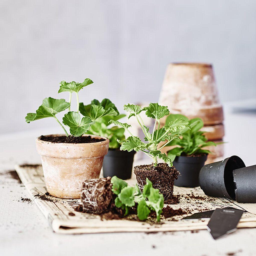 Forøke potteplanter med stiklinger