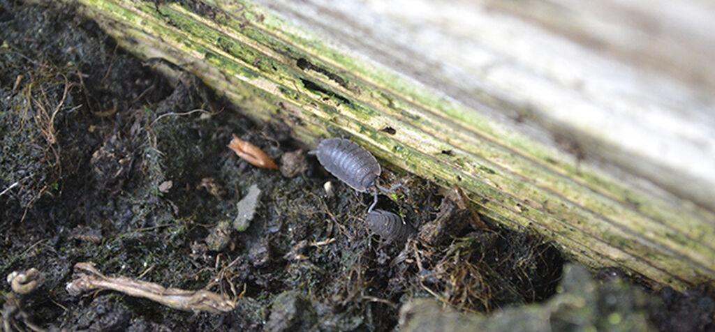 Nedbrytere – jordproduserende insekter i land og blomsterbed
