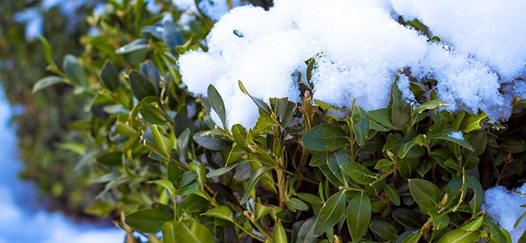 Vintergrønne busker – slik lykkes du