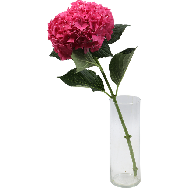 Hortensia , Høyde 50 cm, Flere farger