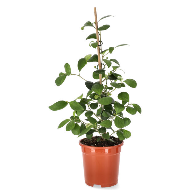 Ficus Deltoidea, Høyde 40 cm, Grønn