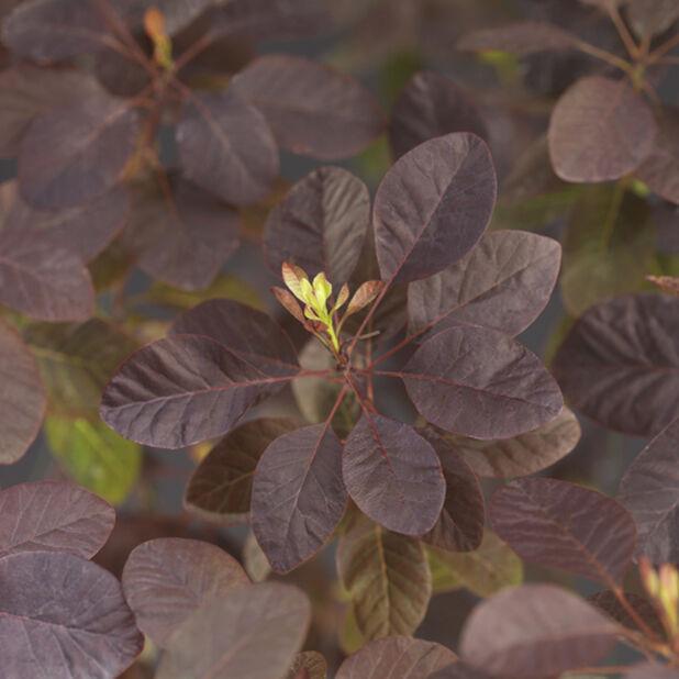 Parykkbusk 'Royal Purple', Ø22 cm, Rød