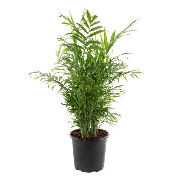 Dvergfjærpalme, Høyde 80 cm, Grønn