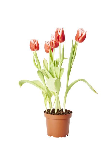 Tulipaner 'Canasta' 12cm