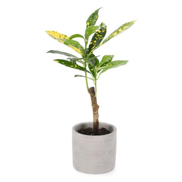 Kroton mini, Høyde 10 cm, Grønn