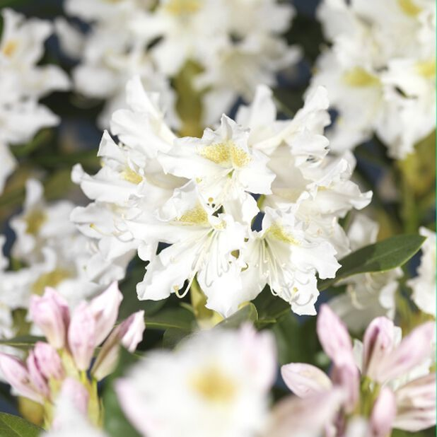 Rododendron Cunninghams White 4L