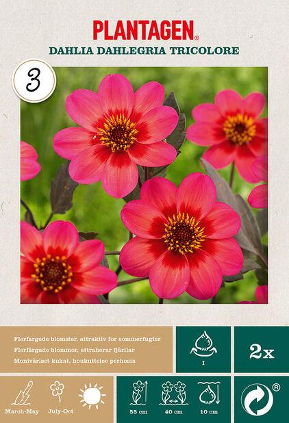 Enkel hagegeorgine 'Dahlegria Tricolore', Rosa