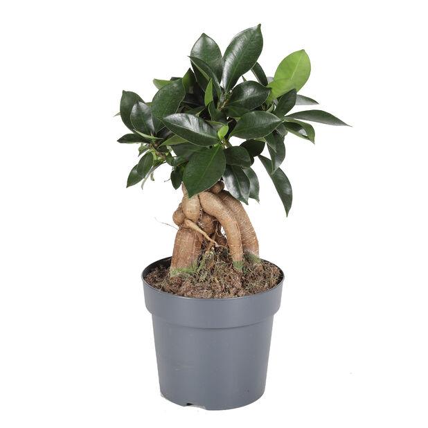Bonsaifiken, Høyde 35 cm, Grønn