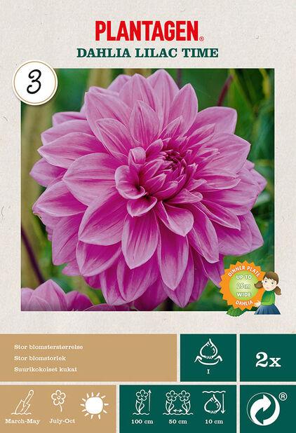 Dekorativ georgine 'Lilac Time', Lilla