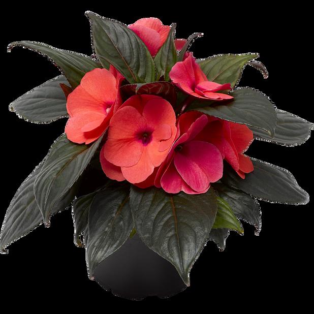Praktspringfrø, Ø12 cm, Rød