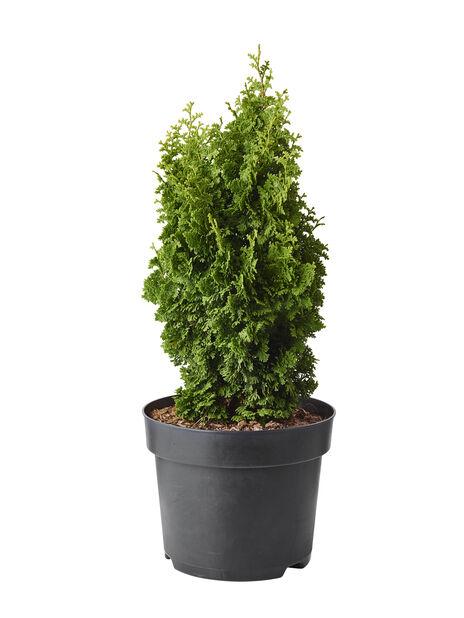 Tuja 'Zmatlik', Høyde 40 cm, Grønn