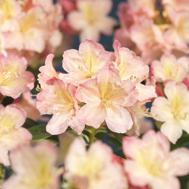 Rododendron 'Percy Wiseman', Ø35 cm, Rosa