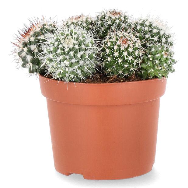 Kaktus rund, Høyde 20 cm, Grønn