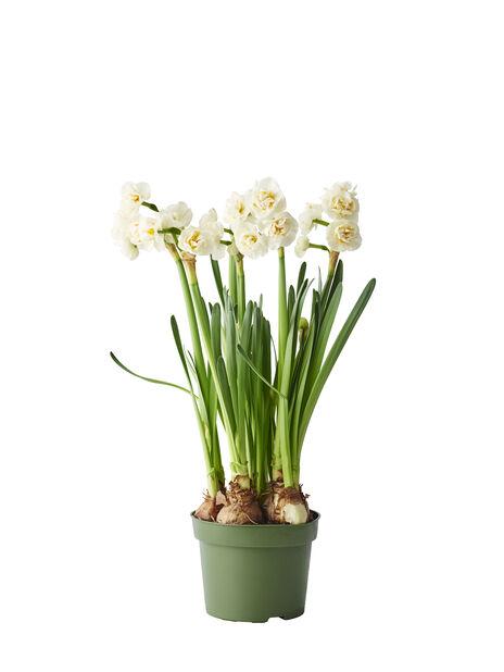 Narcissus 'Bridal crown' 12 cm