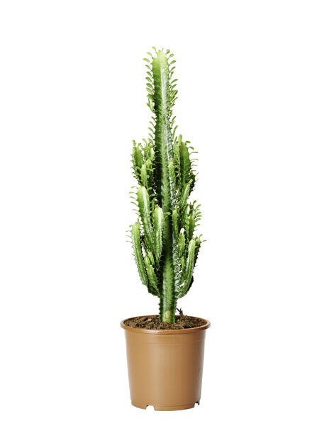 Kaktus 'Cowboy' , Høyde 65 cm, Grønn
